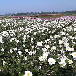 bloeiende anemonen