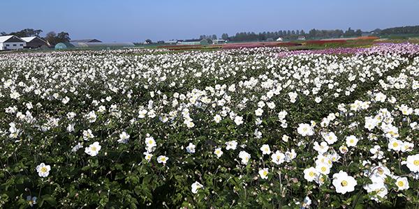 Pottenbedden met bloeiende anemonen