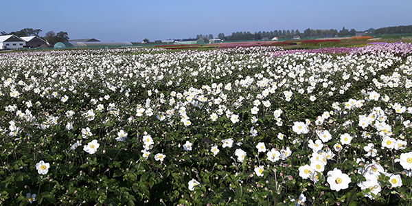 Flowering anemones