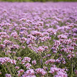 Flowering verbena bonariensis